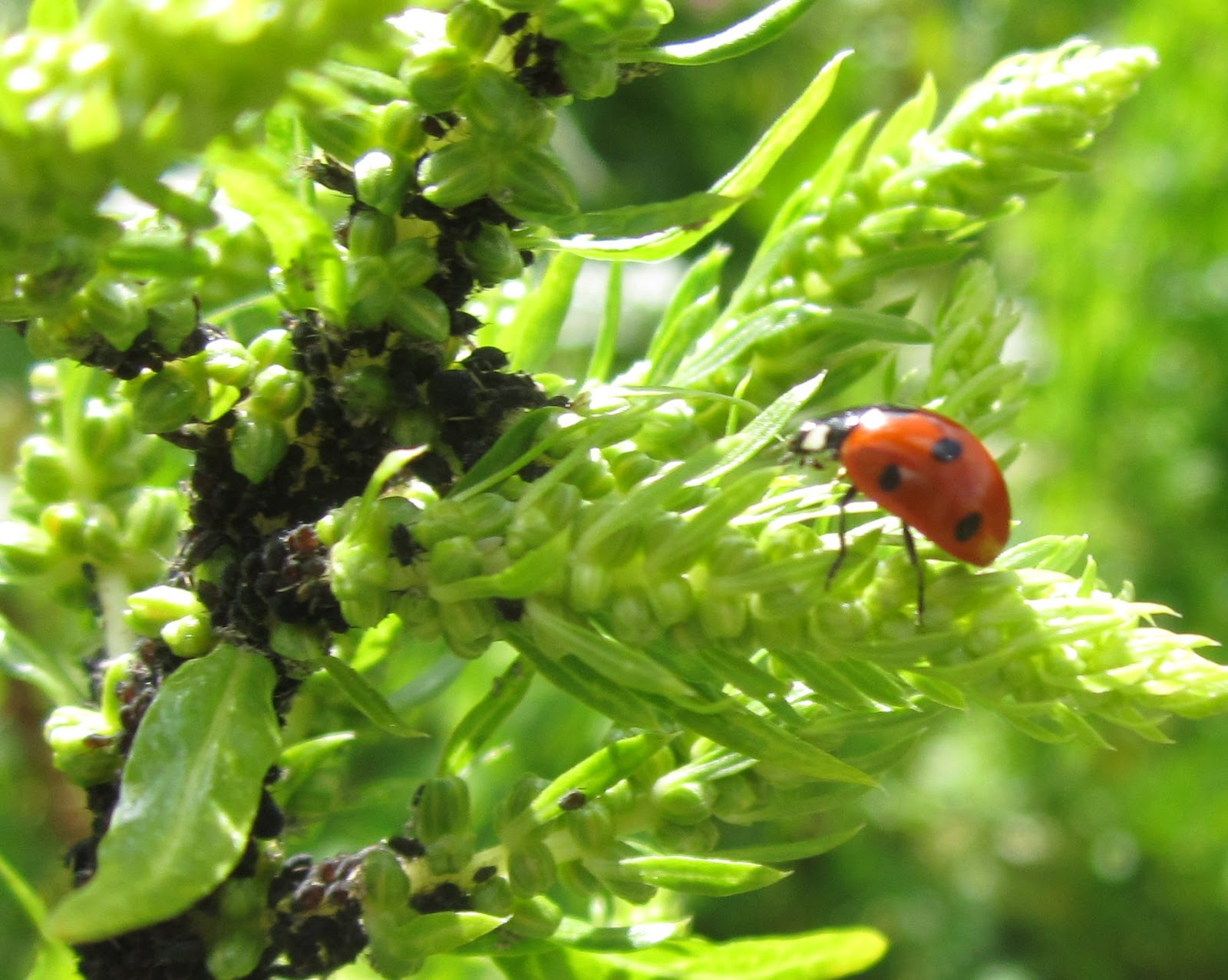 Photo of Control biológico y sustentabilidad en la hortofruticultura. Menos enfermedades, más salud